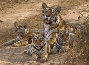 the-land-of-tigers